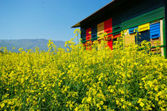 Apiary and Canola. Colorful apiary in the canola field on sunny day with bees flying around royalty free stock photo