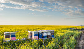 Apiary. In the field of rapeseed stock image