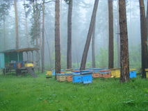 Apiary in the forest. Early in the morning in a pine forest dropped a thick haze Royalty Free Stock Photos