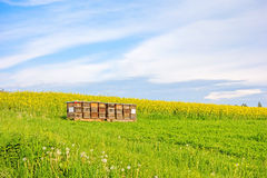 Apiary on meadow - canola field Stock Photos