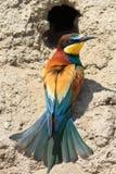 apiaster食蜂鸟欧洲merops 免版税图库摄影