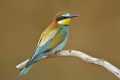 apiaster食蜂鸟欧洲merops 图库摄影