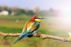 Apiaster coloré de Merops d'oiseau se reposant sur un fond de branche de pré Images stock