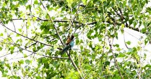 Apiaster de Merops d'oiseaux de mangeur d'abeille banque de vidéos