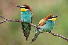Apiaster de Merops de deux abeille-mangeurs se reposant sur une branche Photo libre de droits