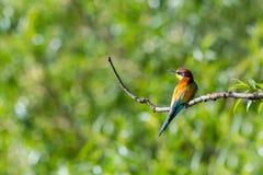 Apiaster europeu do merops do pássaro do abelha-comedor que senta-se no ramo em s Imagens de Stock