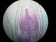 Apicaal meristeem van verticillata Hydrilla Stock Foto