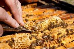 Apicoltore che controlla un alveare per assicurare salute della colonia di api Fotografia Stock Libera da Diritti