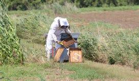 apicoltore con il vestito protettivo durante la raccolta del miele Fotografia Stock Libera da Diritti