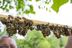 Apicoltore con la struttura dell'ape con la barra delle cellule - celle reali con le madri di regine dell'ape fotografia stock libera da diritti