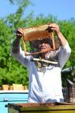 Apicoltore senior con esperienza che fa ispezione in arnia Fotografia Stock Libera da Diritti