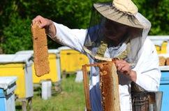 Apicoltore senior con esperienza che taglia pezzo di favo della larva in arnia Fotografia Stock Libera da Diritti