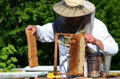 Apicoltore senior con esperienza che taglia pezzo di favo della larva in arnia immagine stock