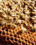 Apicoltura al Vietnam, alveare, miele dell'ape Immagini Stock Libere da Diritti