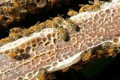 Apicoltura al Vietnam, alveare, miele dell'ape Fotografia Stock Libera da Diritti