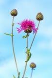 Apiculata Ledeb Centaurea Η άνθηση cornflower ενάντια Στοκ Φωτογραφίες