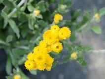 Apiculatum «ασήμι και χρυσός» Chrysocephalum Στοκ Εικόνα
