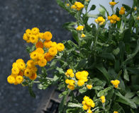 Apiculatum «ασήμι και χρυσός» Chrysocephalum Στοκ φωτογραφία με δικαίωμα ελεύθερης χρήσης