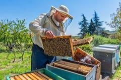Apiculteur au travail ?tag?re de levage de gardien d'abeille hors de ruche L'apiculteur sauve les abeilles photographie stock