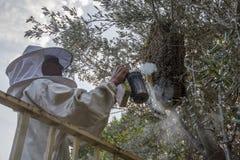 Apiculteur enlevant une ruche d'un arbre photo stock