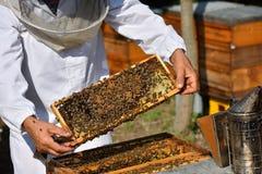 Apiculteur tenant le cadre du nid d'abeilles avec les abeilles de travail Image stock