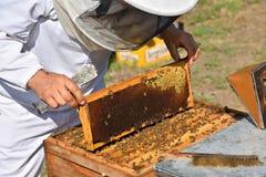 Apiculteur tenant le cadre du nid d'abeilles avec les abeilles de travail Photo libre de droits