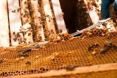 Apiculteur vérifiant une ruche pour assurer la santé de la colonie d'abeille Photographie stock libre de droits