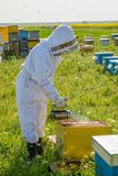 Apicultor en el trabajo durante el tiempo de primavera protegido por el traje Fotos de archivo