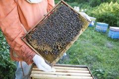 Apicultor Holding Honeycomb With Honey Bees Imagen de archivo