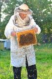 Apicultor mayor experimentado que hace la inspección y el enjambre de abejas Fotos de archivo