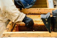 Apicultor no identificado que examina abejas de la caja de madera Imagenes de archivo