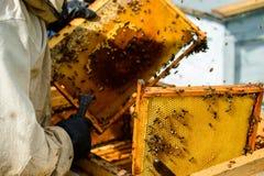 Apicultor no identificado que sostiene el panal con las abejas para controlar el si Foto de archivo libre de regalías