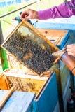 Apicultor principal que se sostiene en panales de la abeja de las manos de la cera en un marco de madera de una colmena lleno de  Foto de archivo libre de regalías