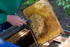 Apicultor que celebra un marco del panal con las abejas y la limpieza de abejones Fotografía de archivo libre de regalías