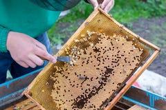 Apicultor que celebra un marco del panal con las abejas y la limpieza de abejones Fotos de archivo libres de regalías