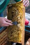 Apicultor que celebra un marco del panal con las abejas y la limpieza de abejones Imágenes de archivo libres de regalías