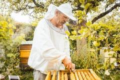 Apicultor que comprueba sus abejas Foto de archivo