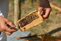 Apicultor que guarda o quadro do favo de mel com abelhas de trabalho Imagens de Stock Royalty Free
