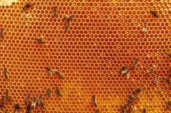 Apicultor que lleva a cabo el marco del panal con las abejas Fotografía de archivo libre de regalías