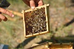 Apicultor que lleva a cabo el marco del panal con las abejas de trabajo Fotografía de archivo