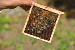 Apicultor que lleva a cabo el marco del panal con las abejas de trabajo Fotografía de archivo libre de regalías