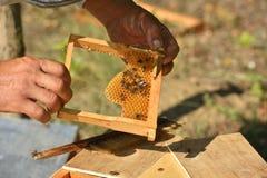Apicultor que lleva a cabo el marco del panal con las abejas de trabajo Fotos de archivo