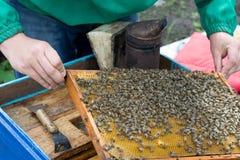 Apicultor que lleva a cabo un marco del panal con las abejas Imágenes de archivo libres de regalías