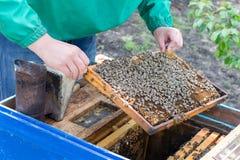 Apicultor que lleva a cabo un marco del panal con las abejas Imagen de archivo libre de regalías
