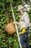 Apicultor que quita a una colonia de la abeja de un árbol Fotos de archivo