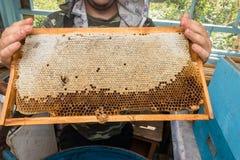 Apicultor que se sostiene en panales de la abeja de las manos de la cera en un marco de madera Fotos de archivo