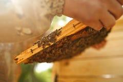 Apicultor que sostiene el panal con las abejas Apicultura abeja Foto de archivo libre de regalías