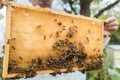 Apicultor que sostiene el panal con las abejas en sus manos Imagen de archivo libre de regalías