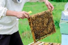 Apicultor que sostiene un panal lleno de abejas Apicultor en el workwear protector que examina el marco del panal en el colmenar Foto de archivo libre de regalías