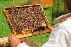 Apicultor que sostiene un panal lleno de abejas Apicultor en el workwear protector que examina el marco del panal en el colmenar Imágenes de archivo libres de regalías